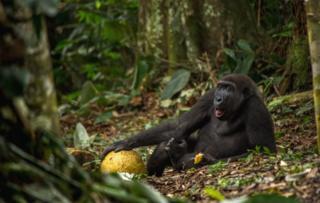 Gorila deitado
