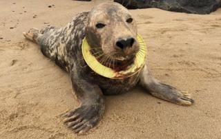 Seal with frisbee toy around neck