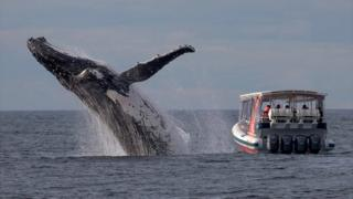 Humpback whale breeching right next to a small whale-watching boat.