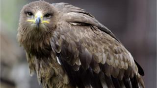 A Steppe eagle, like the one that was shot
