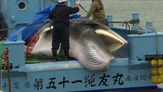 Baleia é caçada no Japão