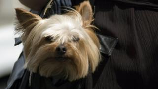 A Yorkshire terrier sticking its head out of a handbag