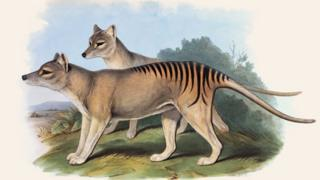 A period illustration of the Tasmanian Tiger