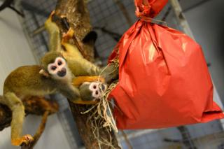 Squirrel monkeys explore their Christmas package