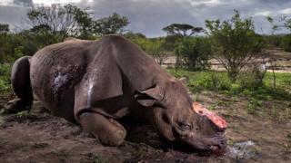 Rinoceronte morto para retirada do chifre