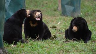 riau, beruang