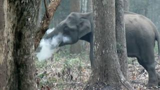 The elephant is seen blowing out ash in a forest in southern India