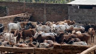 Ikibazo c'ubwatsi bw'inka giteje ikibazo hagati ya Kenya na Tanzania