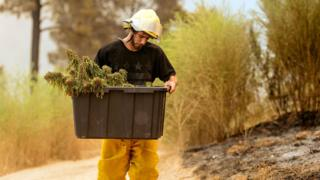 One grower is pictured with a bucket salvaging what is left of his marijuana
