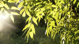 Common ash is found across Europe