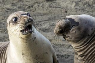 Seal looking shocked at another seal