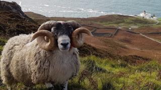 Ram at Mull of Kintyre