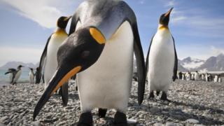Королівський пінгвін