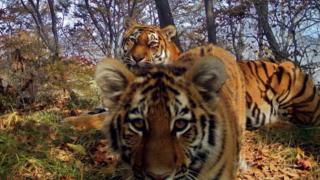 Sibir pələngləri - Leopard Torpağı milli parkı, Rusiya, Sibir (İyul, 2017)