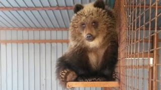 Bear rescued in Russia after poachers killed mother 2018