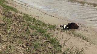 Cow stuck in mud