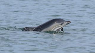 Дельфін у Чорному морі
