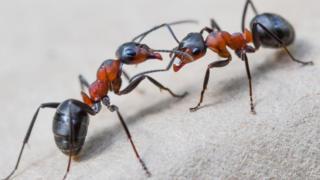 Formigas lutando