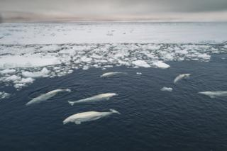 Beluga whales are trapped by sea ice as shifting winds create unstable conditions.