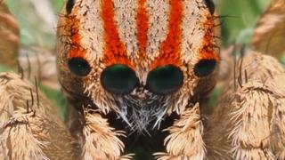 Maratus azureus