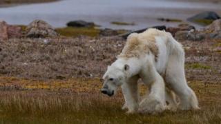 Oso moribundo en busca de comida en el Ártico canadiense