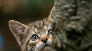 Kittens Wildcat kitten
