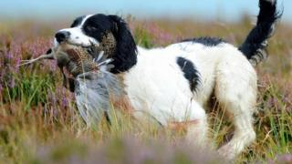 Dog and grouse