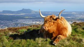 a coo in the Pentlands