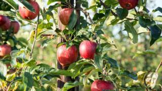 Яблоки в Кенте