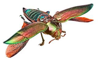 Giant jewel beetle, Euchlora gigantea