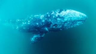 A grey whale called Wally is lost in the Mediterranean - far away from its home in the Pacific. Why?