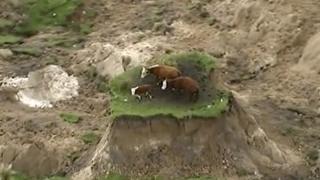 Yeni Zelanda inekler