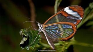 유리날개 나비(Greta oto)