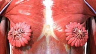 女性肌肉结构图展示的乳腺组织