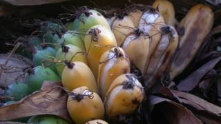 Madagascan banana