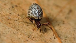 Araña del género Argyrodes