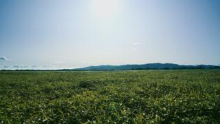 Основная культура, которую выращивают аграрии из КНР, - соя (на фото соевое поле в Биробиджанском районе ЕАО)