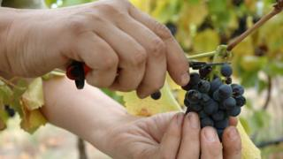 A generic image of hands picking wine grapes for harvest