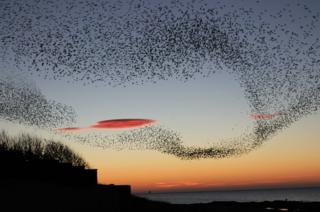 Murmuration flying over Prestwick seafront