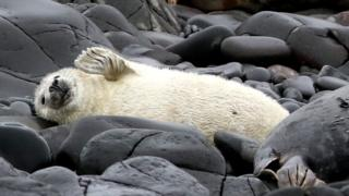 Seal pups on the Farne Islands