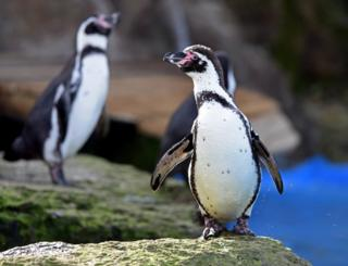 Humboldt penguins at Chessington World of Adventures