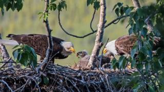 два орла с птенцом
