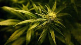 Fotografija biljke kanabisa.
