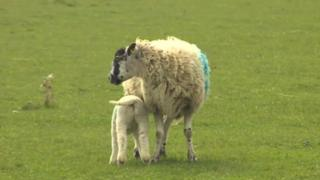 Sheep and lamb in a field