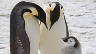 Императорские пингвины являются самыми крупными и тяжелыми из всех видов пингвинов