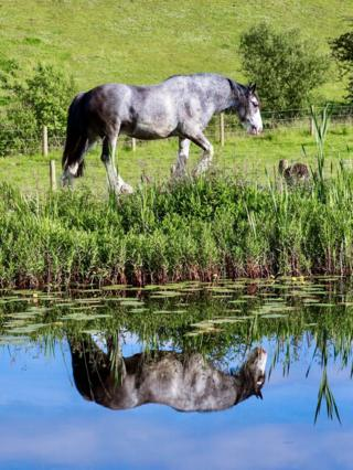 Stewart Kerr says the water was very still when he took this photo of a horse on the opposite bank of the Forth and Clyde canal near Auchinstarry.
