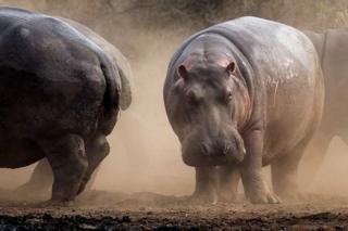Baadhi ya Viboko watakaouliwa wakiwa katika Mbuga ya Wanyama ya Kruger nchini Afrika Kusini.