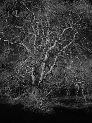 A detailed black and white image of a tree without leaves