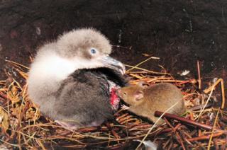 An albatross chick is attacked by a mouse on the Island of Gough in the South Atlantic.