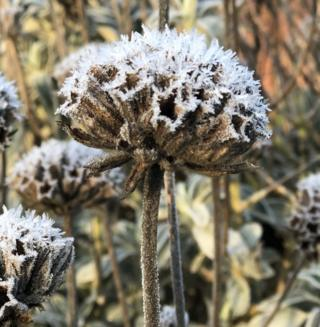 Frost on field flowers